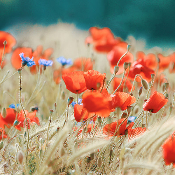 Blühender Klatschmohn auf einem Feld